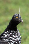 Horned screamer [colombia_6180]