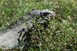 Green iguana eating grass [colombia_6243]