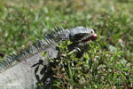 Green iguana eating grass