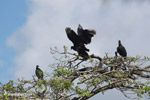 Black vultures atop a tree, jostling for position