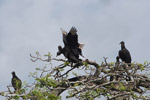 Black vultures atop a tree, jostling for position [colombia_6249]
