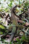 Lizard [colombia_6273]