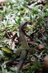 Lizard [colombia_6274]