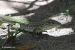 Lizard [colombia_6275]