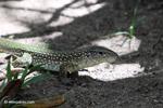 Lizard [colombia_6276]