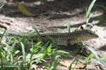 Lizard [colombia_6284]