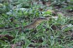 Lizard [colombia_6297]