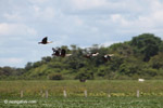 Orinoco geese in flight