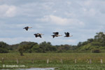 Orinoco geese in flight [colombia_6413]