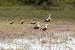 Orinoco geese [colombia_6421]