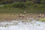 Orinoco geese [colombia_6423]