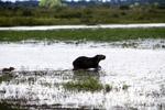 Capybara [colombia_6425]