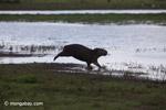 Running capybara [colombia_6428]