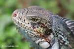 Green iguana headshot [colombia_6440]