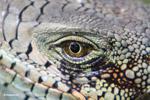 Green iguana headshot [colombia_6443]