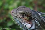 Green iguana headshot [colombia_6449]