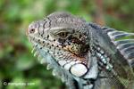 Green iguana headshot [colombia_6450]