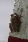 Hypsiboas pugnax Tree frog [colombia_6469]