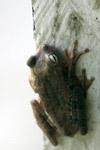 Hypsiboas pugnax Tree frog [colombia_6472]