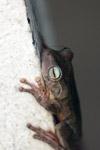 Hypsiboas crepitans Tree frog [colombia_6482]