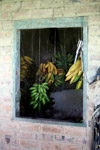 Bananas in a ranch house