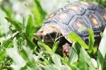 Tortoise [colombia_6495]