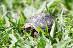 Tortoise [colombia_6496]