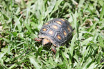 Tortoise [colombia_6498]