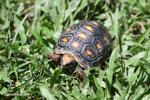 Tortoise [colombia_6499]