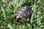 Tortoise [colombia_6500]