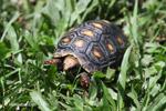Tortoise [colombia_6501]