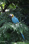 Blue and yellow macaw [colombia_6506]
