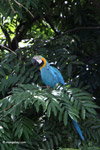 Blue-and-Gold Macaw (Ara ararauna)