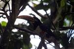 Chestnut-eared Aracari (Pteroglossus castanotis) [colombia_6516]
