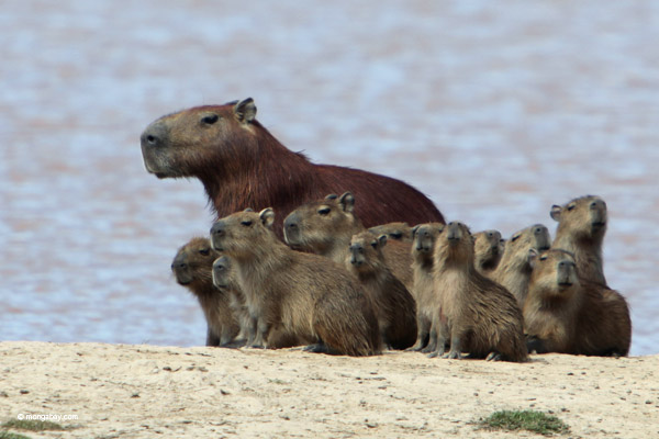 Capybaras, here in Colombia, are the world's largest rodents today. But they would have been dwarfed by Josephoartigasia monesi. Photo by: Rhett A. Butler.