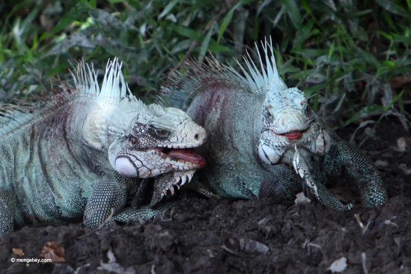 Green iguana males battling.