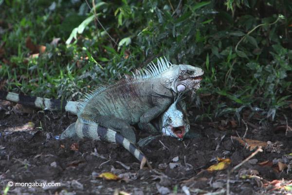 Green iguana males fight.