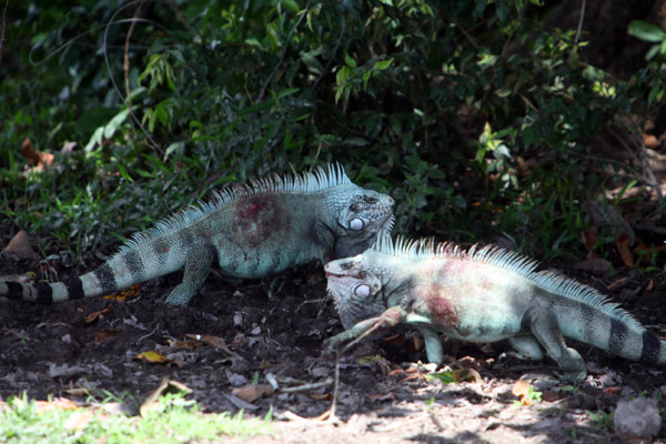 Green iguana males stalking one another.