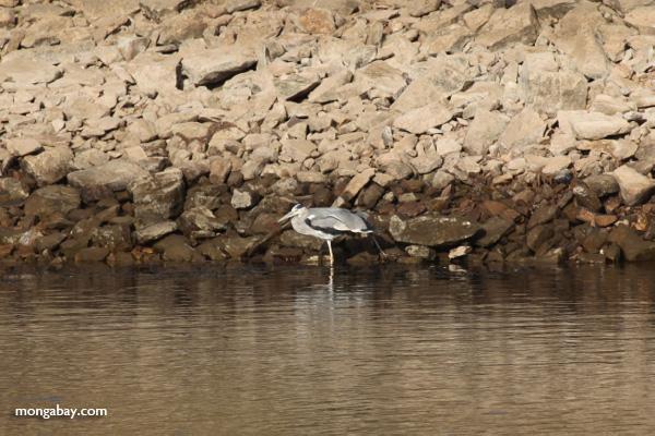 Great Blue Heron in Egypt [egypt_0286]