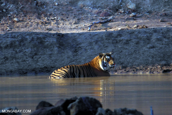 A Bengal tiger enjoys the water in Bandhavgarh National Park. Photo by Nancy Butler.