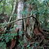 Rainforest tree near Jantho