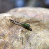 Green grasshawk butterfly