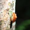 Cicada exoskeleton