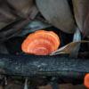 Red-orange fungi
