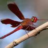 Red grasshawk butterfly