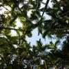 Beetlenut palms