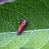 Brilliant leafhopper
