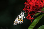 Butterfly [aceh_0012]