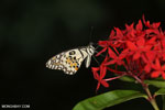 Butterfly [aceh_0015]