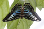 Parthenos sylvia clipper